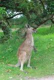 Kangaroo. In a zoo nature park Stock Photography