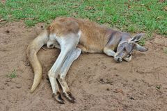 Kangaroo. S are only available in Australia and there are about 45 different species. The tail helps the  to keep the balance and get support. If the danger Stock Photo