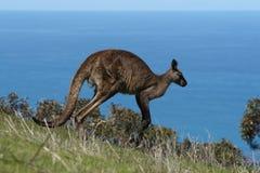 Kangaroo Landscape Stock Images
