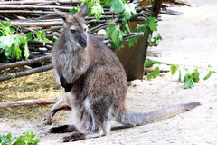 Kangaroo with a large kangaroo in the bag Stock Photo