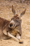 Kangaroo laying in the sand Royalty Free Stock Photos