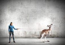 Kangaroo on lead Royalty Free Stock Image