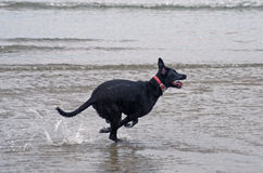 Kangaroo like dog. Dog running through the water looking like a kangaroo Stock Photos