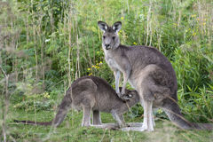 Kangaroo with little joey in Australia. A kangaroo spotted in the wild with a little joey in Australia Royalty Free Stock Image