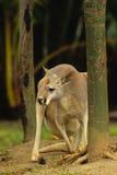 Kangaroo Looking Around Tree Royalty Free Stock Photo