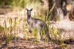 Kangaroo looking for enemies Royalty Free Stock Image
