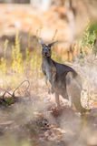 Kangaroo looking Royalty Free Stock Images