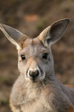 Kangaroo looking at you Royalty Free Stock Photo