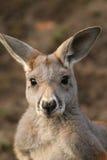 Kangaroo looking at you Royalty Free Stock Photo