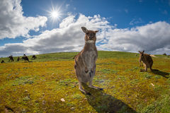 Kangaroo looking at you on the grass Royalty Free Stock Photos