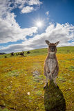 Kangaroo looking at you on the grass Stock Photo