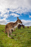 Kangaroo looking at you on the grass Stock Image