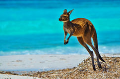 Kangaroo at Lucky Bay. A kangaroo enjoying a morning 'hop' at Lucky Bay, Western Australia stock photography