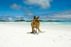 Kangaroo on Lucky Bay. Cape Le Grand National Park - Australia stock photo
