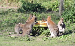 Kangaroo lunch Royalty Free Stock Photos