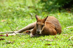 Kangaroo Lying Down on The Grass Royalty Free Stock Photo