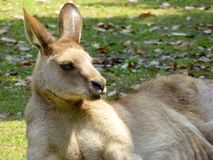 A Kangaroo lying on the ground Royalty Free Stock Images