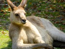 A Kangaroo lying on the ground to rest Stock Images