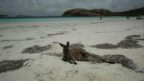 Kangaroo lying at Lucky Bay. Kangaroo lying on pristine and white sand of Lucky Bay in Cape Le Grand National Park, near Esperance in Western Australia. Lucky stock footage