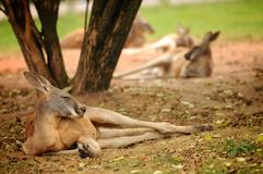 Kangaroo lying on the meadow in the zoo Stock Photography