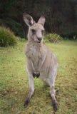 Kangaroo Macropus giganteus Royalty Free Stock Image