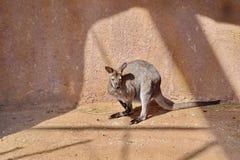 Kangaroo Macropus rufogriseus on Sand Stock Photo. Resting on Sun stock images
