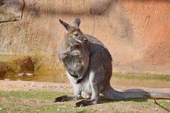 Kangaroo Macropus rufogriseus on Sand Stock Photo. On Sun stock images