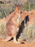 Kangaroo, Macropus rufus, standing in the warm morning sun Royalty Free Stock Images