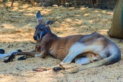 Kangaroo marsupial from the family Macropodidae Stock Images