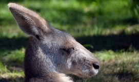 The kangaroo is a marsupial. From the family Macropodidae macropods, meaning stock photography