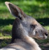 The kangaroo is a marsupial. From the family Macropodidae macropods, meaning royalty free stock photo