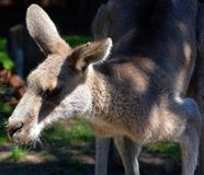 The kangaroo is a marsupial. From the family Macropodidae macropods, meaning stock image