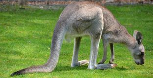 The kangaroo is a marsupial. From the family Macropodidae macropods, meaning `large foot stock images