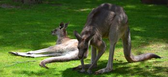 The kangaroo is a marsupial. From the family Macropodidae macropods, meaning `large foot royalty free stock image