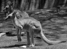The kangaroo is a marsupial. From the family Macropodidae macropods, meaning `large foot stock image