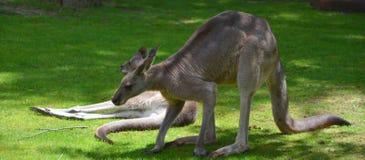 The kangaroo Stock Image