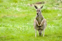 Kangaroo in a meadow Stock Photos