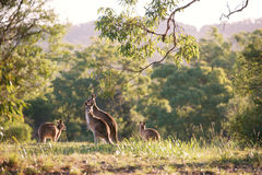 Kangaroo mob Royalty Free Stock Photo
