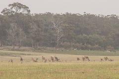 Kangaroo mob in a large field. Kangaroo mob hopping away in a large field in VIC Australia royalty free stock photo