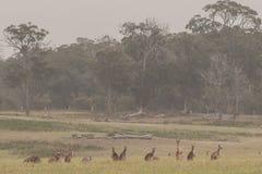 Kangaroo mob in a large field. In VIC Australia stock photo