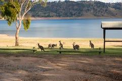 Kangaroo mob near the lake in the park. Australian native animals landscape. Nature background royalty free stock photo