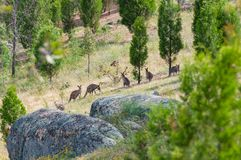 Kangaroo mob in a wild. Australian wildlife landscape of grazing kangaroos royalty free stock images