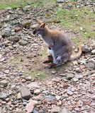 Kangaroo mother with baby Royalty Free Stock Photos