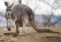 Kangaroo Mother with Baby in Pouch. Stock Image