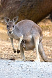 Kangaroo Mother & Joey, Adelaide, Australia. Kangaroo Mother & Joey on the side of the road, Adelaide, Australia royalty free stock image