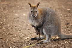 Kangaroo mother with small baby in her pocket Royalty Free Stock Photo
