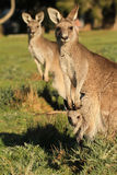 Kangaroo mother standing with Joey Royalty Free Stock Photography