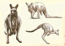 Kangaroo in motion Stock Image