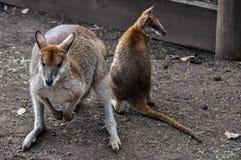 Kangaroo mum with baby in Featherdale Wildlife Park, Australia Stock Photos