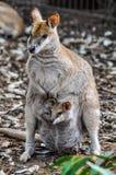 Kangaroo mum with baby in Featherdale Wildlife Park, Australia Stock Photography